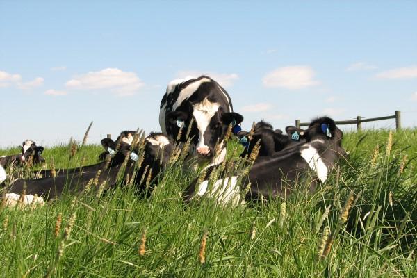 Using cow poop